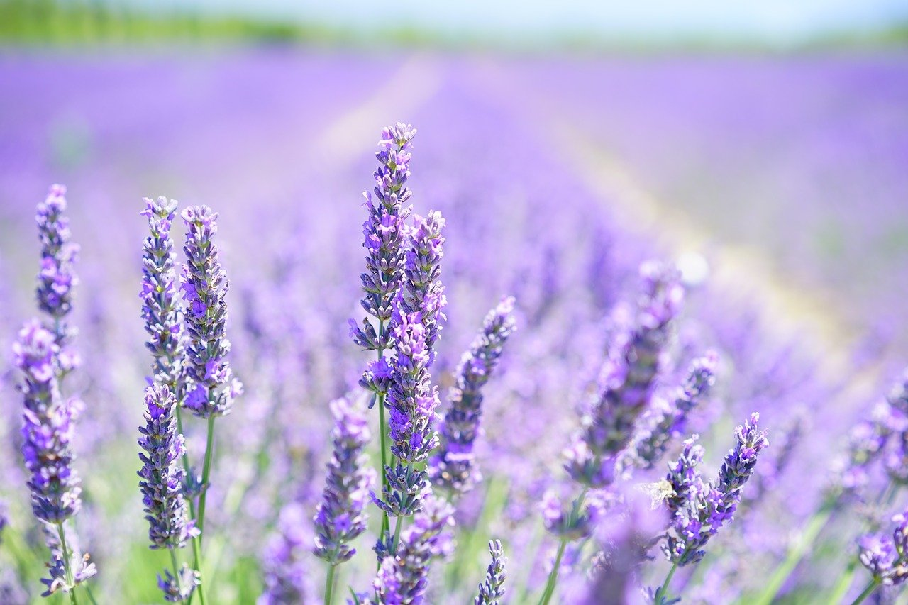 lavender-1595581_1280